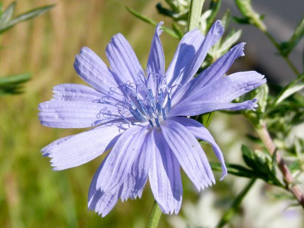 Chicory Flower Essence 20ml
